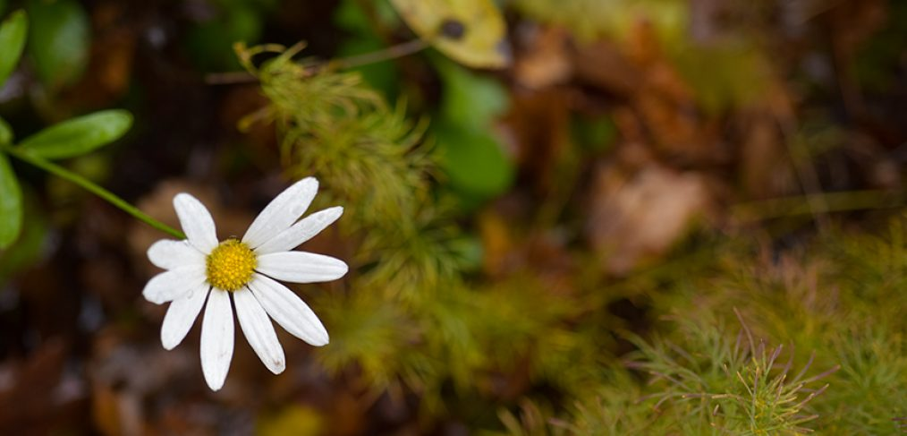 White daisy blooming in a garden in November